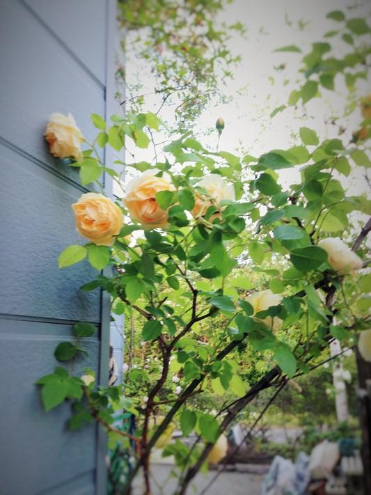 薔薇が咲いた♪_c0261447_2252784.jpg