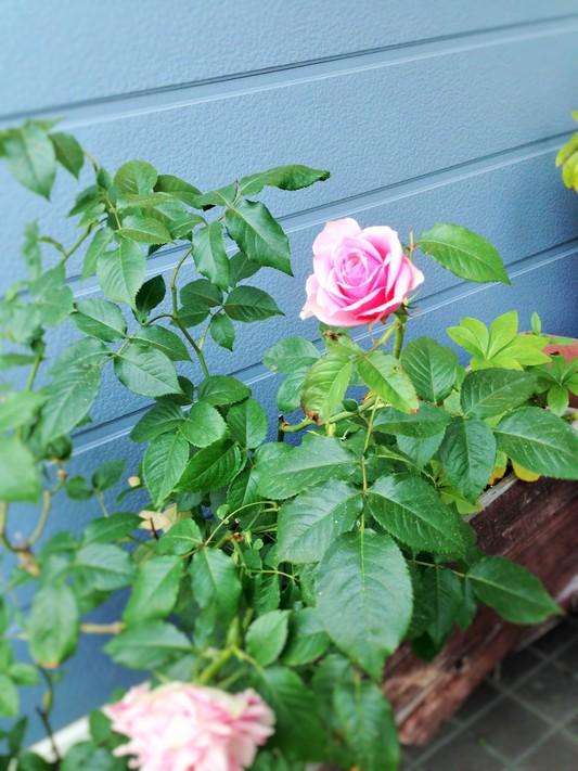 薔薇が咲いた♪_c0261447_22552385.jpg