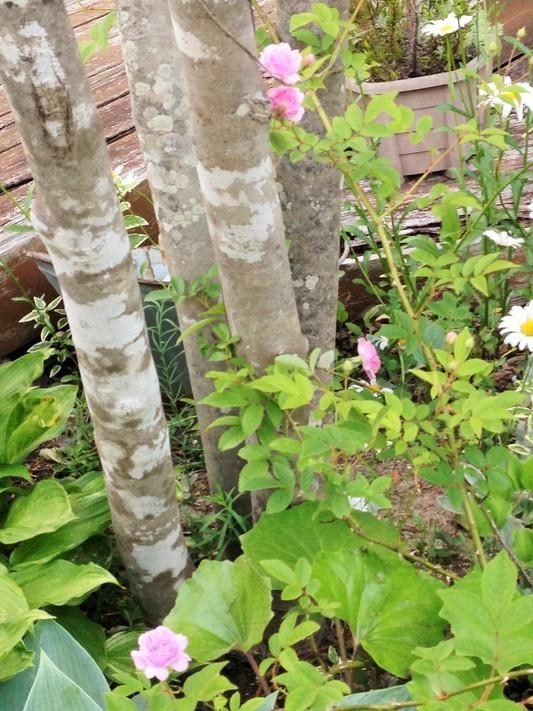 薔薇が咲いた♪_c0261447_22554837.jpg