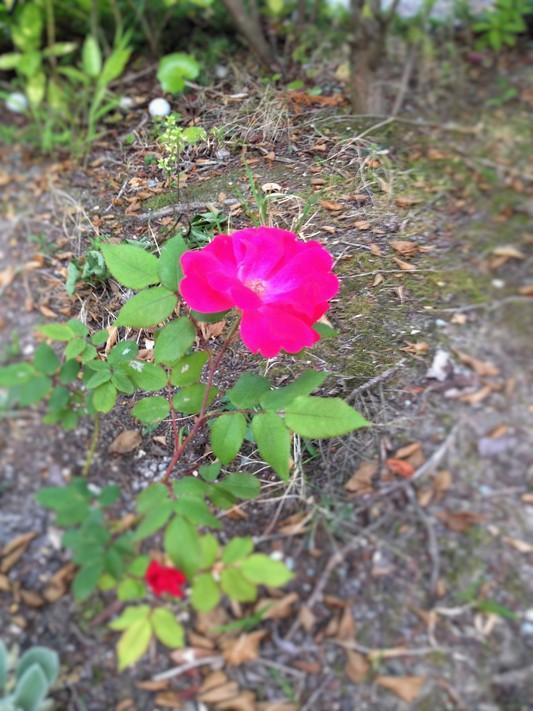 薔薇が咲いた♪_c0261447_22561649.jpg