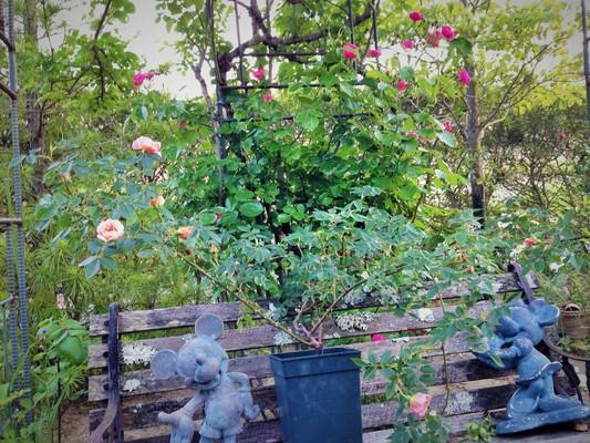薔薇が咲いた♪_c0261447_22563936.jpg