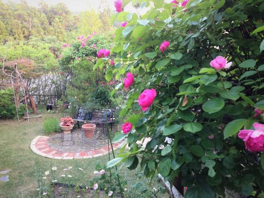 薔薇が咲いた♪_c0261447_2257289.jpg