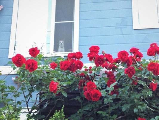 薔薇が咲いた♪_c0261447_2353456.jpg