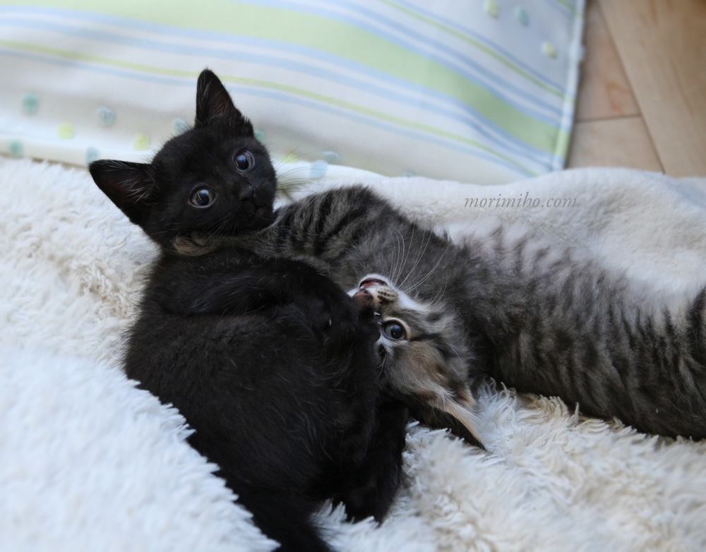里親募集の子猫さんズ。_b0123371_18244099.jpg
