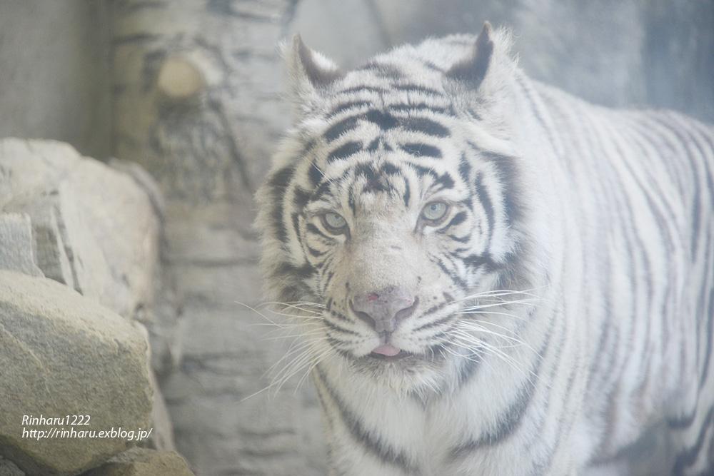 2014.1.12 姫路セントラルパーク☆ホワイトタイガーのハクオウとハルカ【White tiger】_f0250322_21505139.jpg