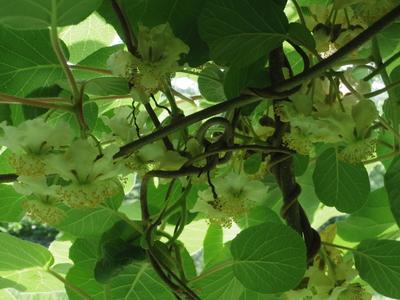 キウイの花        6・6_e0019167_858513.jpg