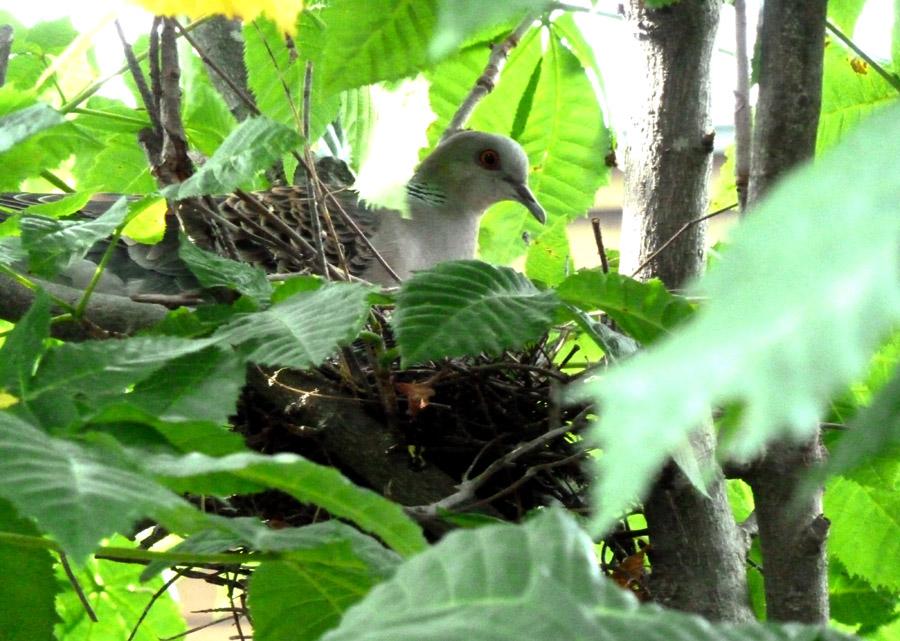 庭の「山鳩」_f0150893_17141374.jpg