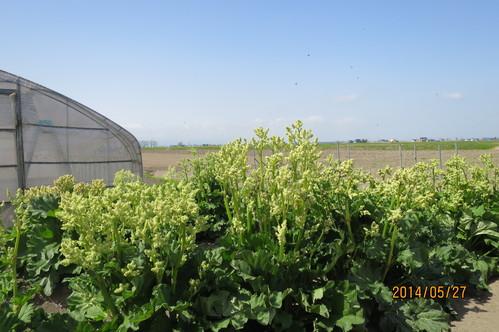 ルバーブとイチゴ畑☆_f0231042_12561533.jpg