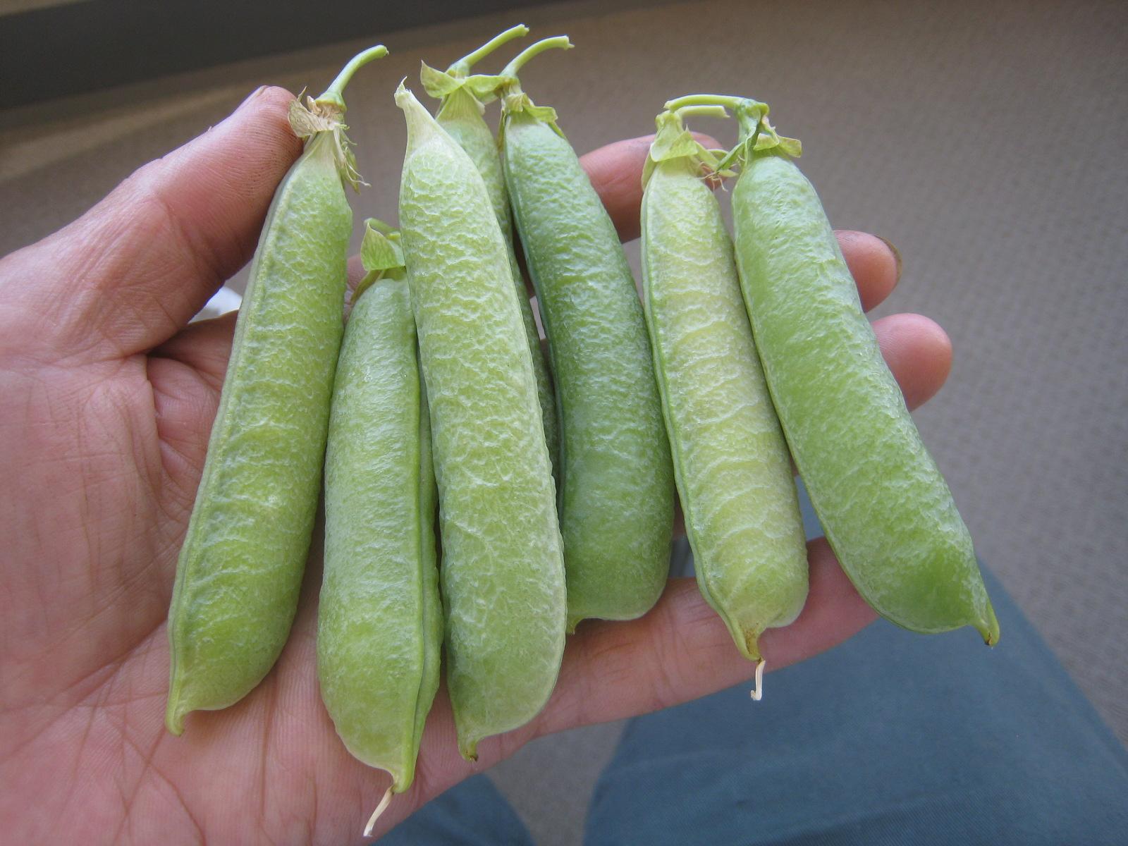増えてきた収穫物を喰らう。_e0121558_22290513.jpg