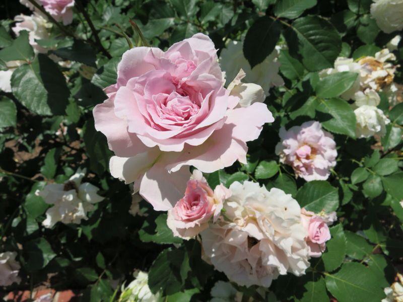 バラ園の薔薇達_e0233674_2161555.jpg