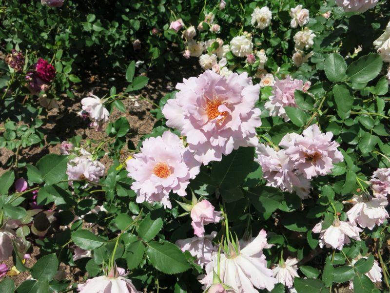 バラ園の薔薇達_e0233674_216167.jpg