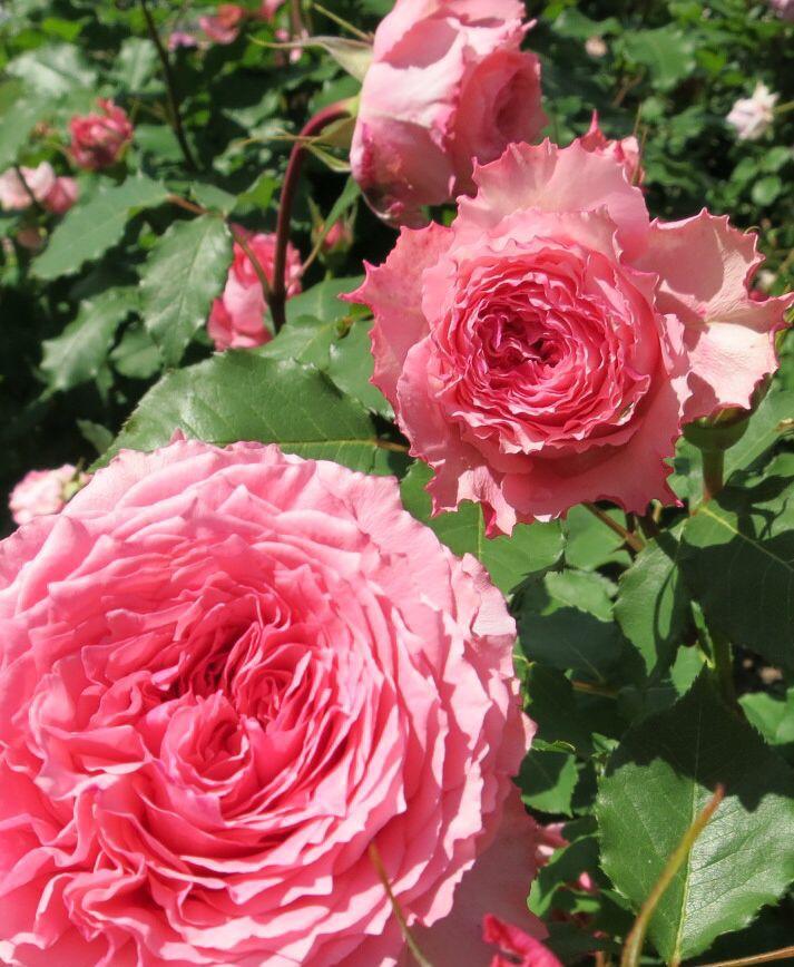 バラ園の薔薇達_e0233674_2161971.jpg