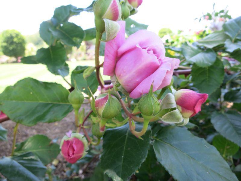 バラ園の薔薇達_e0233674_2162012.jpg