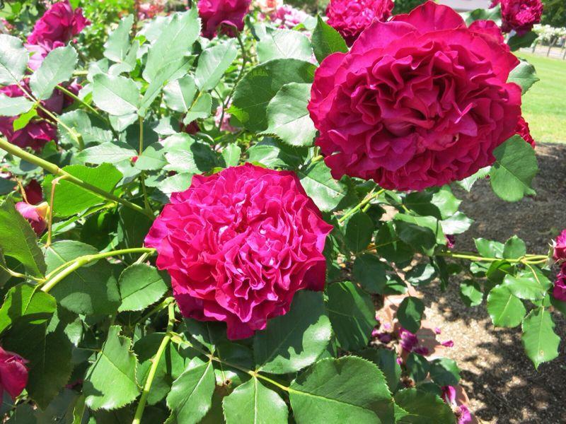 バラ園の薔薇達_e0233674_2162160.jpg