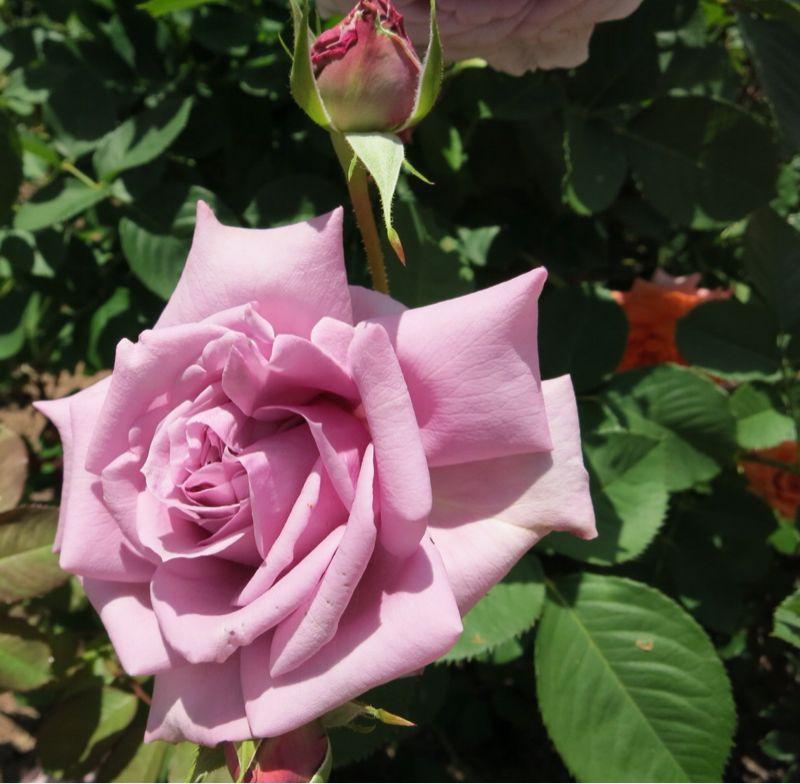 バラ園の薔薇達_e0233674_216229.jpg