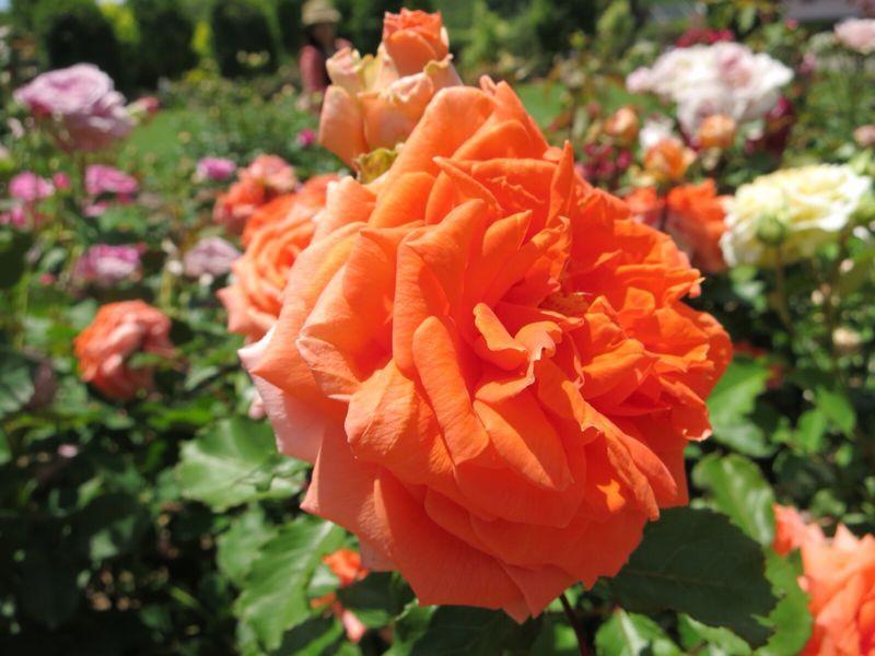 バラ園の薔薇達_e0233674_2162316.jpg