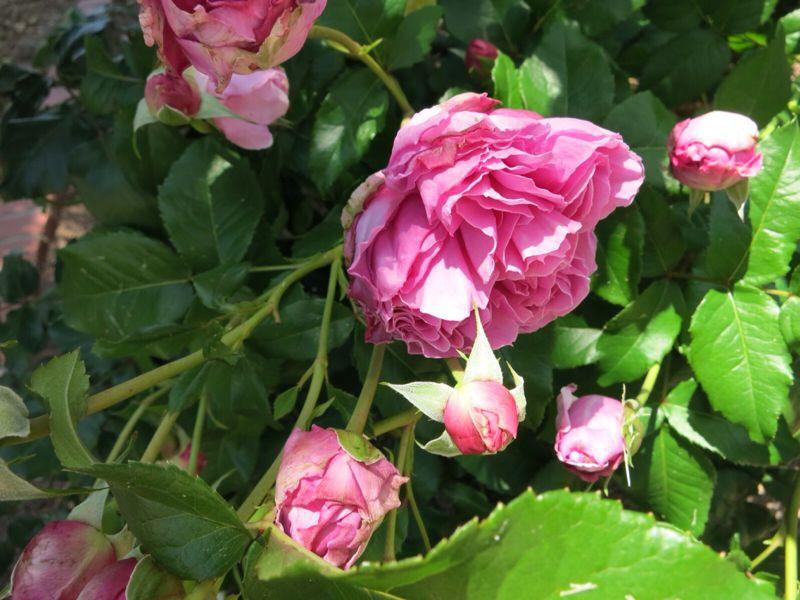 バラ園の薔薇達_e0233674_216244.jpg