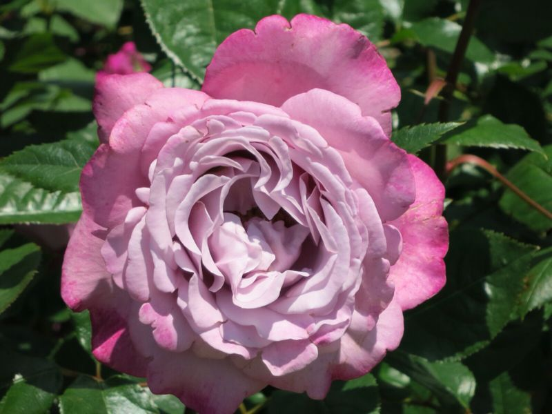 バラ園の薔薇達_e0233674_2162517.jpg