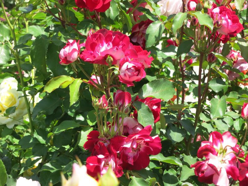バラ園の薔薇達_e0233674_2162555.jpg