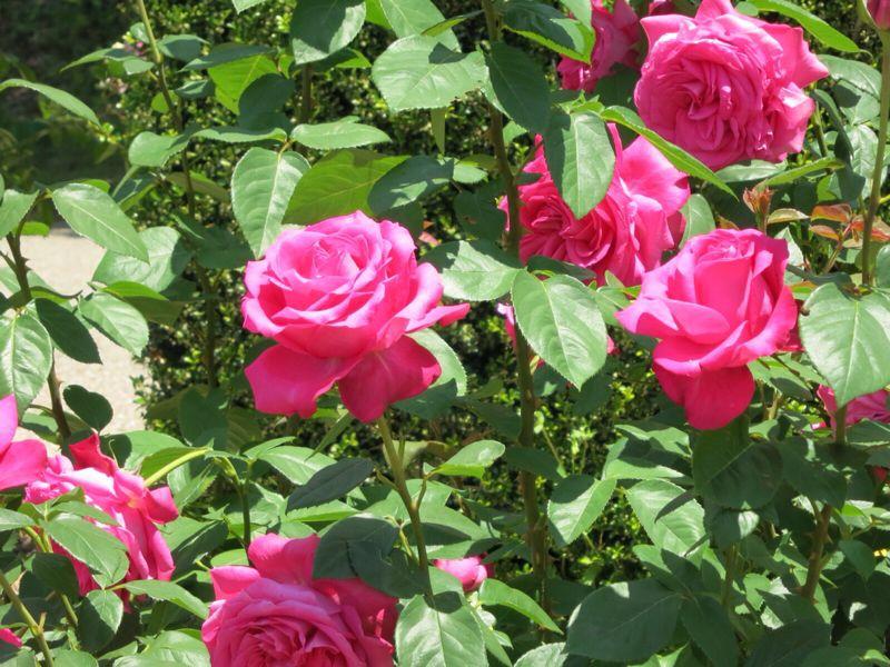 バラ園の薔薇達_e0233674_2162726.jpg