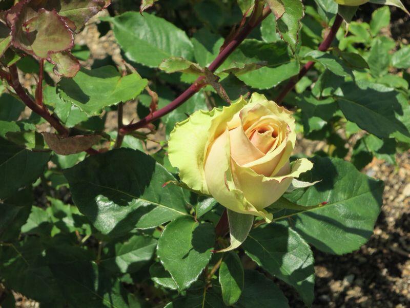 バラ園の薔薇達_e0233674_2162983.jpg