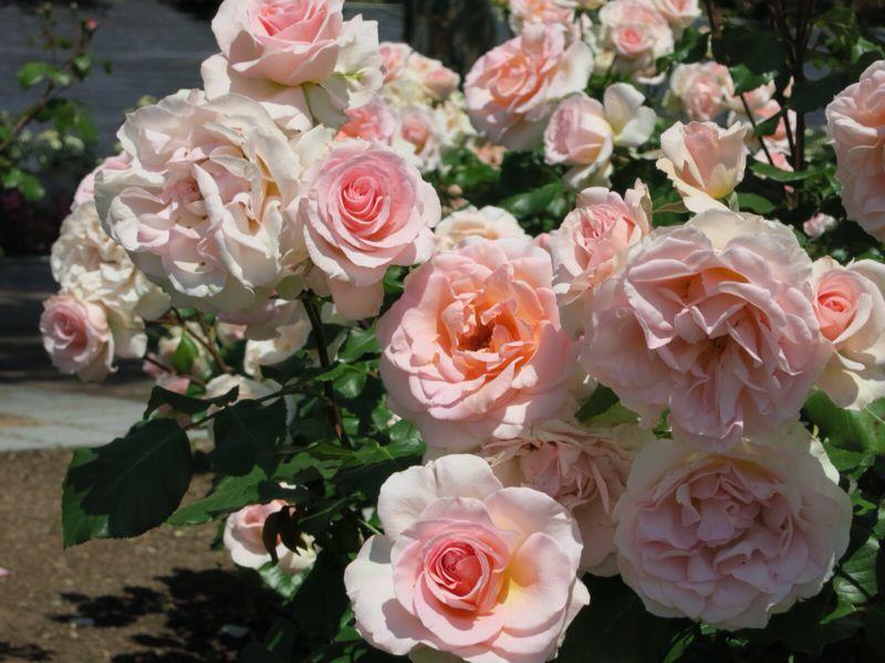 バラ園の薔薇達_e0233674_216325.jpg