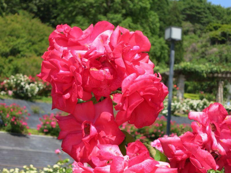 バラ園の薔薇達_e0233674_2163438.jpg