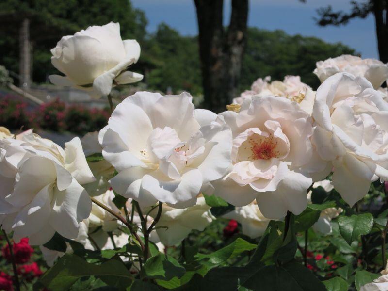 バラ園の薔薇達_e0233674_2163570.jpg