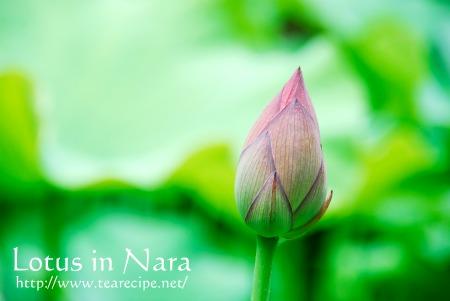 Lotus in Nara_d0227799_6162249.jpg