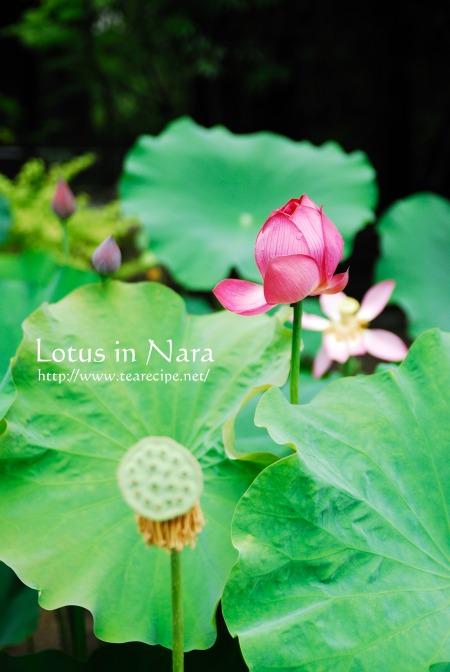 Lotus in Nara_d0227799_6162344.jpg