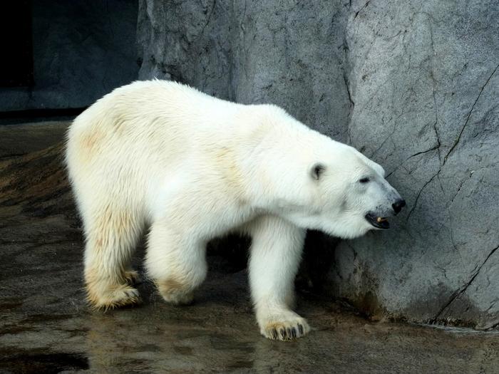 旭山動物園のほっきょくぐま館_d0116009_10582235.jpg