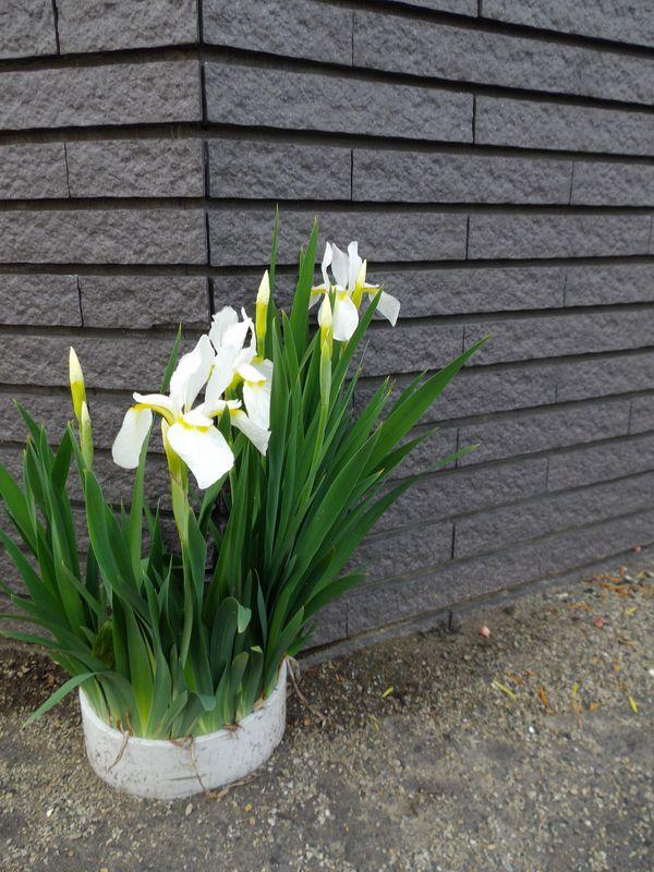 札幌の奥座敷でのオフと白から赤へ移る庭_c0025115_21122157.jpg