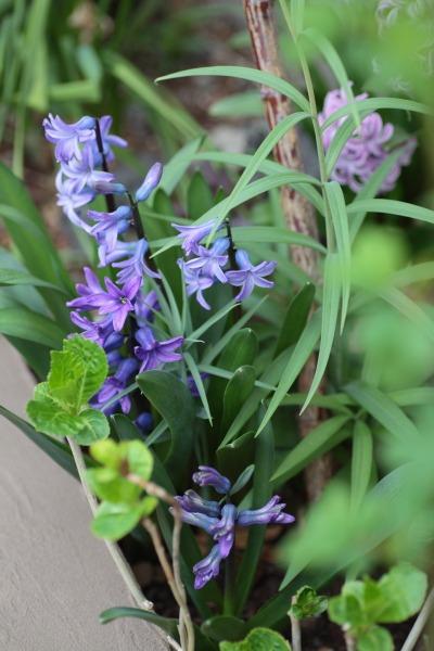 ヒヤシンス、パンジー、うちは紫が多い。_a0227137_22103385.jpg