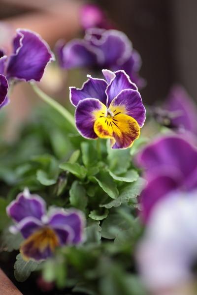 ヒヤシンス、パンジー、うちは紫が多い。_a0227137_22142881.jpg