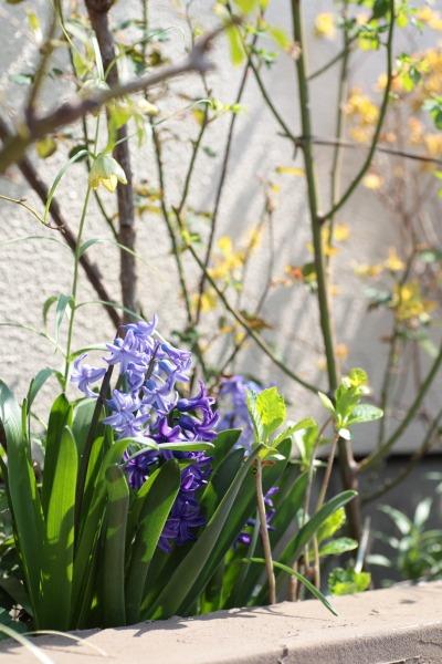 ヒヤシンス、パンジー、うちは紫が多い。_a0227137_2220216.jpg