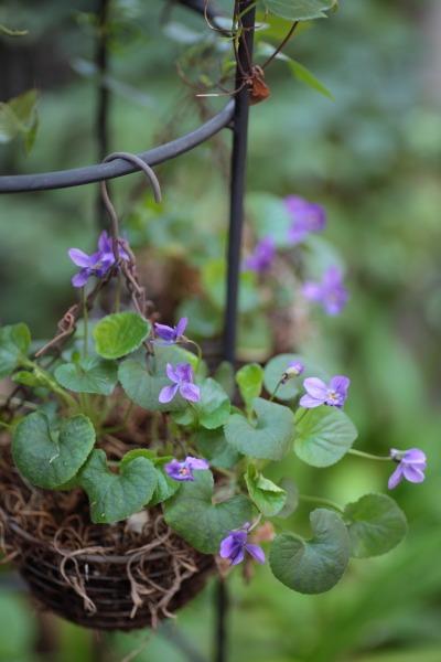 ヒヤシンス、パンジー、うちは紫が多い。_a0227137_22211224.jpg