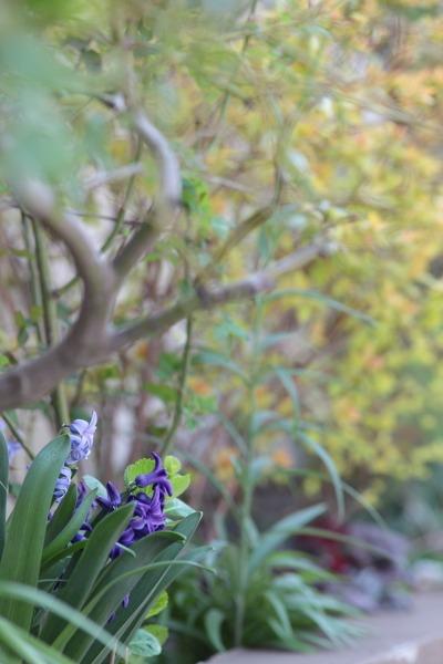 ヒヤシンス、パンジー、うちは紫が多い。_a0227137_22245264.jpg
