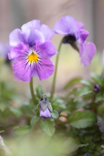 ヒヤシンス、パンジー、うちは紫が多い。_a0227137_2285586.jpg