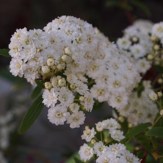 コデマリの花色々_a0292194_19254340.jpg
