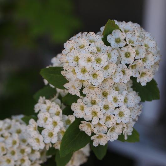 コデマリの花色々_a0292194_1928970.jpg