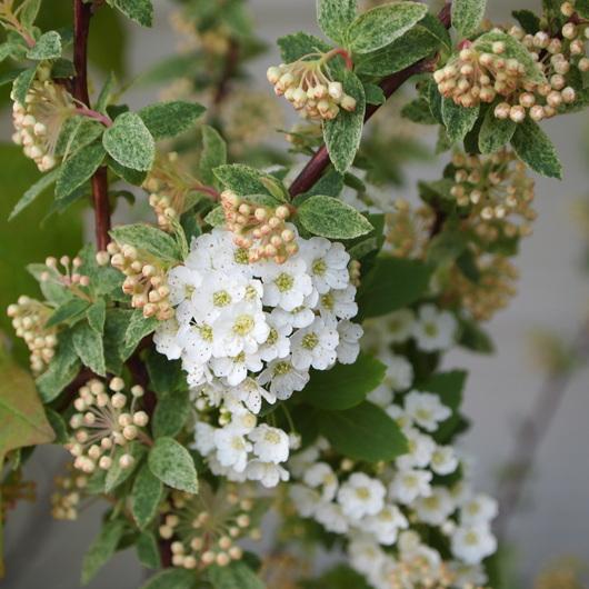 コデマリの花色々_a0292194_19391928.jpg