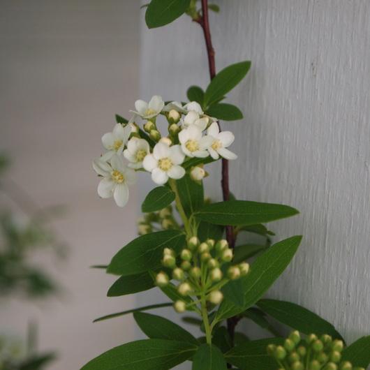 コデマリの花色々_a0292194_1939363.jpg