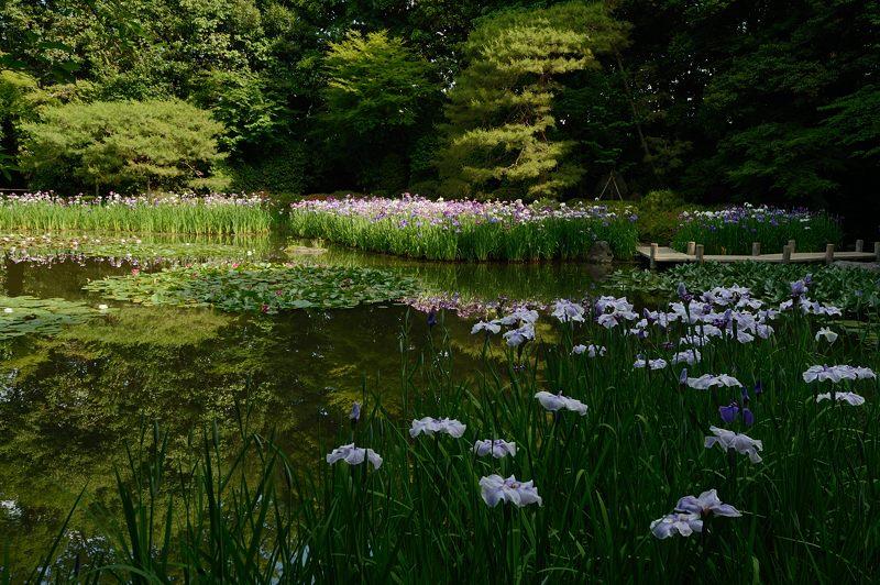 平安神宮の花菖蒲・其の一_f0032011_18125275.jpg