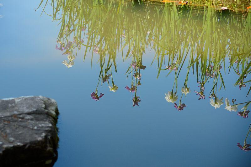 平安神宮の花菖蒲・其の一_f0032011_18142771.jpg