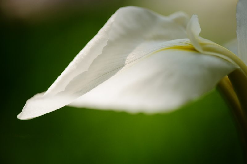 平安神宮の花菖蒲・其の一_f0032011_18152747.jpg