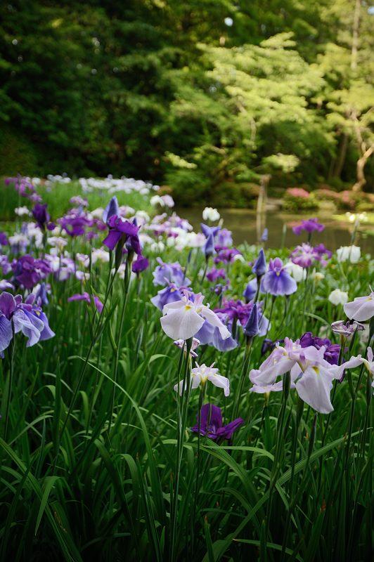 平安神宮の花菖蒲・其の一_f0032011_1815296.jpg