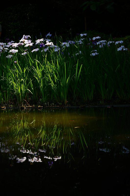 平安神宮の花菖蒲・其の一_f0032011_192259.jpg