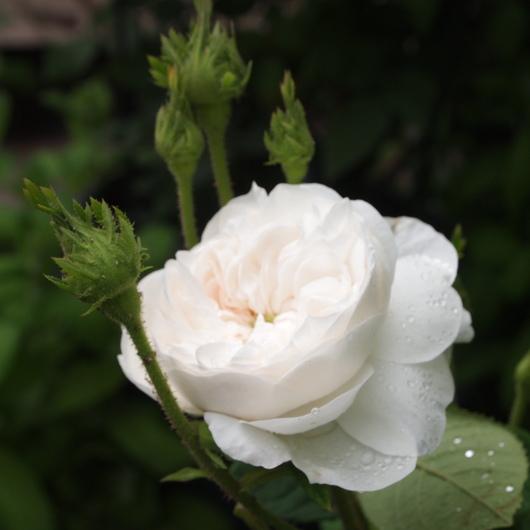 バラが咲き始めました_a0292194_20243684.jpg