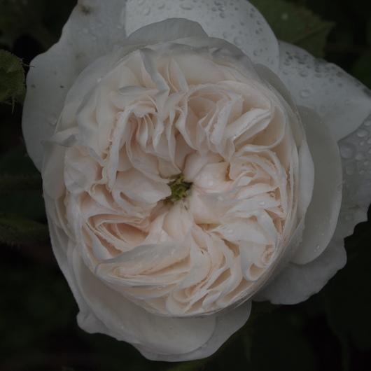 バラが咲き始めました_a0292194_2025668.jpg