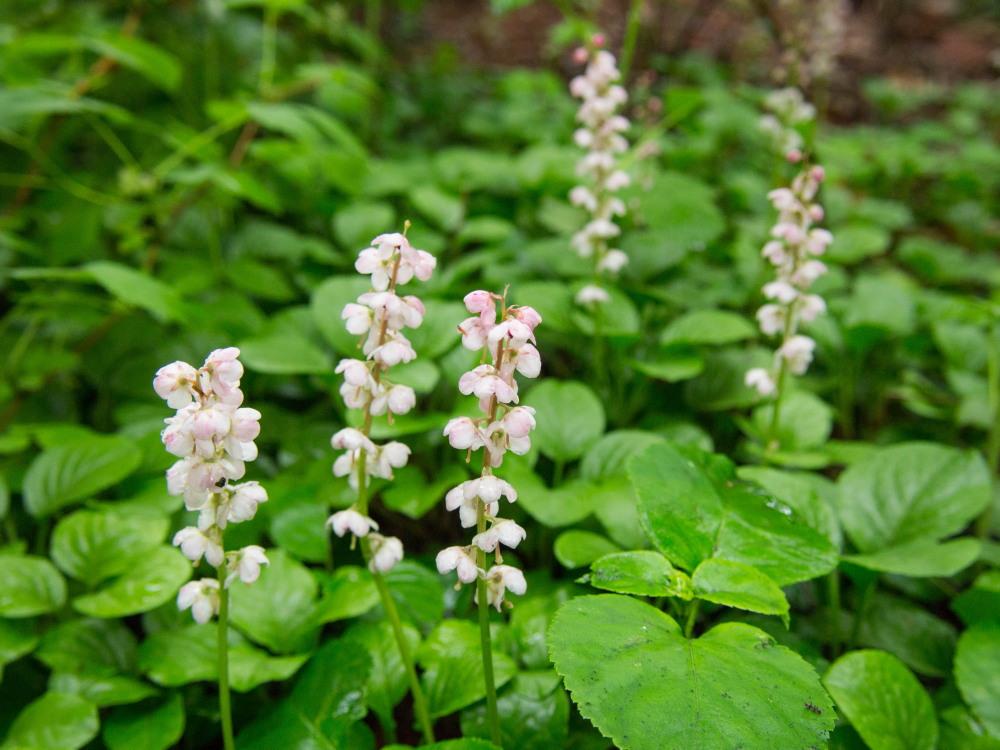 庭に自生する「ベニバナイチヤクソウ」「スズラン」が咲いています。_f0276498_17074543.jpg
